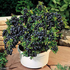 200 seeds of blueberry fruit bonsai dwarf tree bush shrub blue berry memory fix