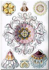 "ERNST HAECKEL CANVAS PRINT Art Nouveau Sea Life 24""X 18"" Peromedusae"