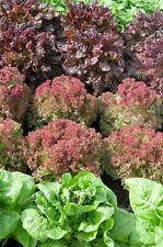 Lettuce Mix Lactuca sativa 1000 seeds * NON GMO * ez grow * CombSH G31