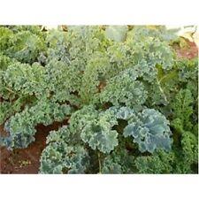 Kale Dwarf Siberian Improved Great Heirloom Vegetable 30,000 Seeds By Seed Ki...