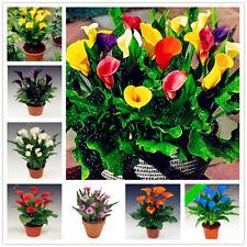 100Pcs Calla Lily Seeds Rare Bonsai Plants Flower Seeds Mixed Color