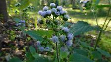 Blue Mistflower (Conoclinium coelestinum) ✤ 100 Seeds