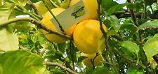 Box da 6kg Bergamotto frutto Fresco Di REGGIO CALABRIA biologico/naturale