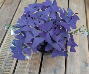 3 x Oxalis Triangularis Purple Shamrock Perennial Hardy Flower Plant Fresh Bulbs