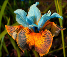 Rare 2 Iris Bulbs Perennial Reblooming Bearded Rhizomes Bonsai Pot Gift Plants