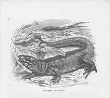 Rennechsen Goldteju Tupinambis teguixin HOLZSTICH von 1863 Six-lined Racerunner