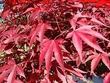 ACER PALMATUM ATROPURPUREUM v18 Pianta Plant Acero giapponese rosso Japanes mapl