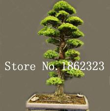 20 Pcs Seeds Evergreen Cedar Tree Bonsai Natural Perennial Pine Deodara New 2019