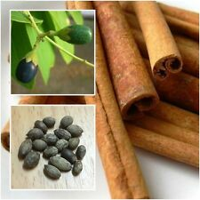 Cinnamomum 10 Seeds, Cinnamon, Cassia, Spices Seasoning Herb Seeds From Thailand