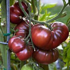 """10  Tomatensamen Black Krim"""" süsser ist keine """" Samen Saatgut Sämereien Tomaten"""