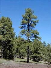 Ponderosa Pine-semi freschi-IDEALE BONSAI