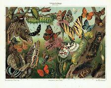 SCHMETTERLINGE Lepidoptera Falter LITHOGRAPHIE von 1905 Apollo Bläuling