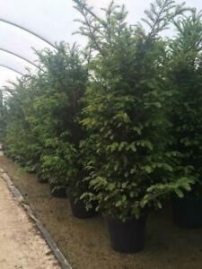 10X LARGE 3FT TAXUS BACCATA ENGLISH YEW HEDGING TREES EVERGREEN - 5L