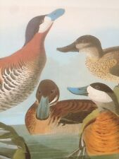Audubon Ruddy Duck From John James Audubon Bookplate Print