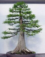 mexican cypress -- taxodium mucronatum 3 year old plant / great for bonsai