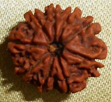 Rare 9 Mukhi Rudraksha Bead, Genuine Matured Blessed by Priest w/ Sandalwood Oil