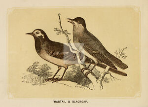 ANTIQUE Woodblock Natural History Print - Wagtail and Blackcap Birds #E897