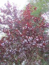 Prunus cerasifera Nigra 150 cm Blutpflaume Blut Pflaume Zierstrauch rosa Blüte