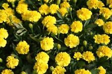 Marigold- Tagetes Erecta- Yellow- 50 Seeds