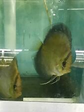 New listing Ghost Discus Fish Breeding Pair