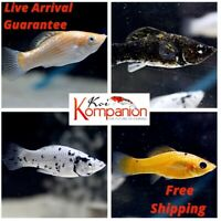 5/10/20X Assorted Mollies Beginner Aquarium Koi Kompanion