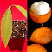 Achachairu Garcinia Humilis Orange Bolivian Mangosteen Tropical Fruit Tree Plant