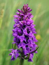 XXL Dactylorhiza majalis Western Marsh Orchid Orchis - Knolle gartenorchidee PP