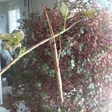 stick insect phaenopharos khaoyaiensis 'budwing' 15+ eggs ナナフシ feeder food