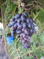 Kernlose Weintraube King Ruby - Vitis vinifera King Ruby