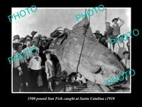 OLD 8x6 HISTORIC FISHING PHOTO OF A 3500 pound SUN FISH BEING CAUGHT IN 1910