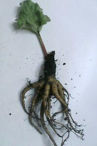 Nice  Rhubarb Plant / Crown variety - Victoria