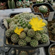 Sulcorebutia elizabethae Vz own root