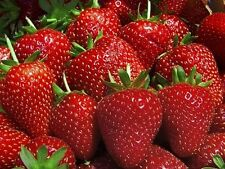 10 Strawberry Plants BEST BERRY Bare Root Plants Garden Fruits Outdoor Plant NEW