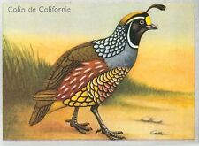 Colin de Californie Callipepla californica California Quail BIRD IMAGE CARD 1951