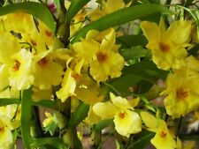 Dendrobium Orchid Golden Aya