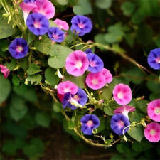 5 Seeds MORNING GLORY MIX - Ipomoea tricolor 160 - ANNUAL CLIMBING FLOWER FREE