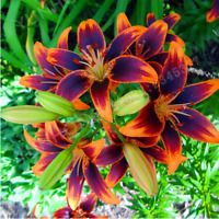 HOT !!! Yellow Lily Flower Bulbs (Not Lily Seeds) - 2 Bulbs