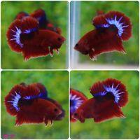 BS-50 -  Live Betta Fish High Quality Halfmoon Plakat HMPK Male Red Hellboy Star