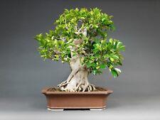 Indoor Bonsai, Chin. Feigenbaum / Ficus retusa, Zimmerbonsai, Solitär, Geschenk