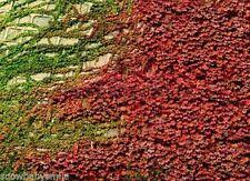 100 Boston Ivy Seeds Vine Virginia Creeper Parthenocissus Tricuspidata Climber