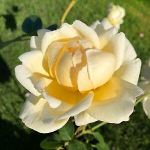 Creme De La Creme   Climbing Rose  7ltr Potted Rose Plant   Cream