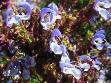 Salvia chamelaegnea in 50mm forestry tube perennial plant