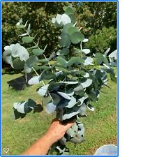 Plants LIVE Eucalyptus Silver Bell (cincera);12 stem bunches; or special order