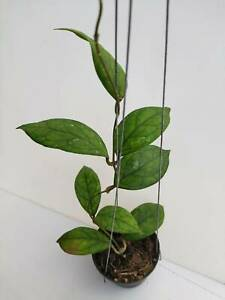 Hoya irina Plant (1 pot ) with Phyto-Certificate (TH94)