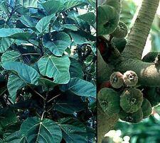 Elephant Ear Fig Tree 10 Seeds - Ficus auriculata