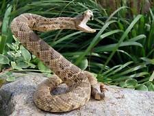 RATTLE SNAKE REPTILE VENOM ATTACK PHOTO ART PRINT POSTER PICTURE BMP128A