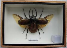 ATLAS BEETLE (CHALCOSOMA ATLAS) - 3-HORNED RHINOCEROS INSECT - WING - TAXIDERMY