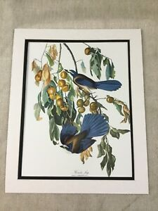 1964 Print Florida Jay Bird Audubon's Book of Birds of America LARGE Folio
