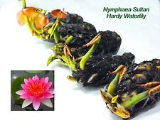 Nymphaea Sultan Red Hardy Water Lily Tuber Mature Active Root - Hr022