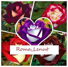 25 x Rare Osiria Rosen/Samen,!! 5 samen x 5 Farben  Rose.>!!!BLITZVERSAND!!!<